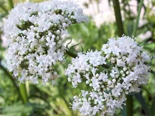 Hình ảnh cây nữ lang lúc màu trắng