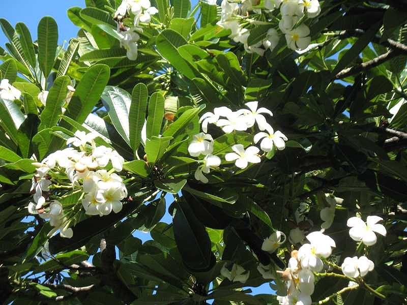 Chữa bệnh bằng cây hoa sứ liệu bạn có biết?