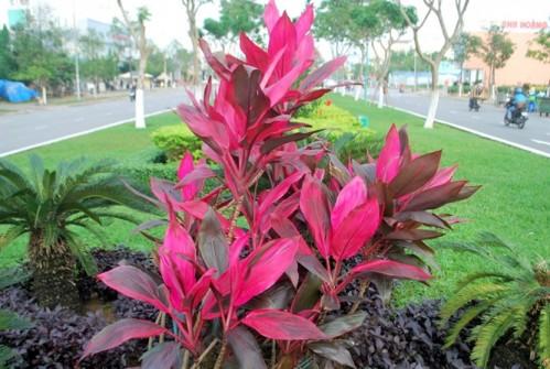 Huyết dụ còn được trồng để làm cảnh ở nước ta