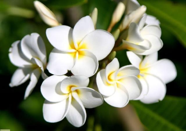 Hoa sứ với nhiều bài thuốc chữa bệnh vô cùng hữu ích