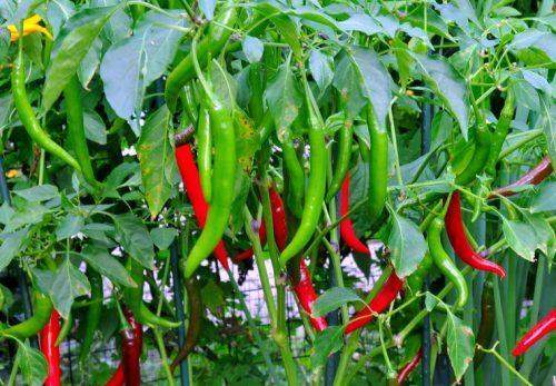 Ớt được trồng khá rộng rãi ở nước ta