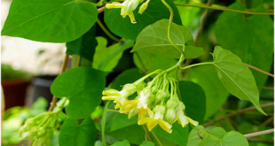 Cách chữa bệnh trĩ cực đơn giản và hiệu quả với hoa thiên lí