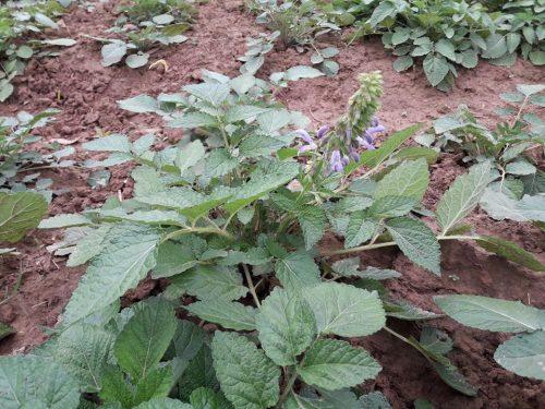 Đan sâm là một loại cây thuốc quý chủ yếu mọc hoang